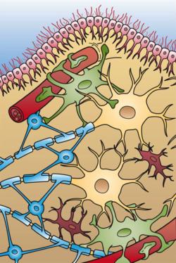 سلول های پشتیبان در بافت عصبی