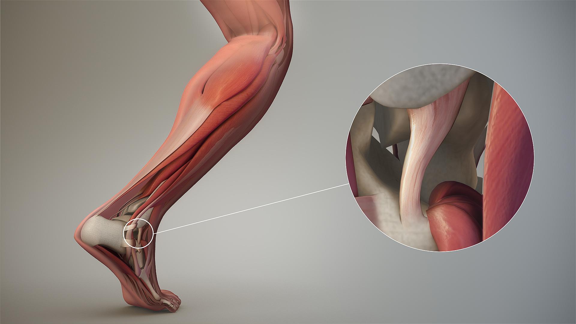 انواع رباط در مفصل ها